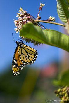 Monarch on Milkweed blossom
