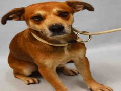 SUPER URGENT -1 YR OLD- ROCCO – A1100435  **RESCUE ONLY**  MALE, BROWN / BLACK, BEAGLE MIX, 1 yr STRAY –
