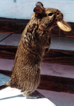 A relative of the rabbits and guinea pigs, the degu is a unique critter that promises endless years of nothing but laughs and love. Their requirements are not difficult and their high sociability makes them great pets for the family. Highly intelligent, curious and social, they can think for themselves and learn quickly. They possess the escape artist skills that Houdini would be envious of . Read on to learn more about the absolutely fabulous degu.