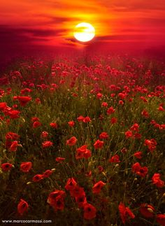 Field of Red Poppies ablaze in the Sunset.
