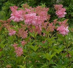 Filipendula rubra Venusta magnifica /72 pouces de haut/20 pouces de large/floraison de juin à août/Zone 3/Comme une astilbe géante avec de magnifiques panicules aériens. Planter à l'arrière des plates-bandes avec le Persicaria polymorpha, des roses trémières ou des cierges d'argent. Nécessite un sol riche et frais. Tolère peu la sécheresse. Syn: F. rubra venusta.