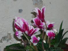 cyclamen white rose