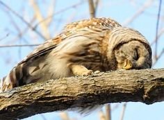 How owls sleep. (Original Caption) ....... NOT!!! Owls perch  most of the time.....Could be dead  or manipulated Barred Owl or turned image. Again, another pix to lure people to the Louboutin site.