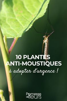 10 plantes anti-moustiques à adopter d'urgence au jardin ou sur le rebord de la… 10 anti-mosquito plants to adopt urgently in the garden or on the windowsill repellent Anti Mosquito Plants, Natural Mosquito Repellant, Mosquito Repelling Plants, Outdoor Plants, Outdoor Gardens, Container Gardening, Gardening Tips, Organic Gardening, Supermarket