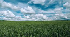 #agriculture #clouds #countryside #crop #cropland #farm #farmland #field #grass #green #growth #nature #pasture #rural #sky #wheat field 4k