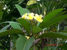 "Frangipani in Sri Lanka, used to be known locally as ""temple flower"" as often used at shrines"
