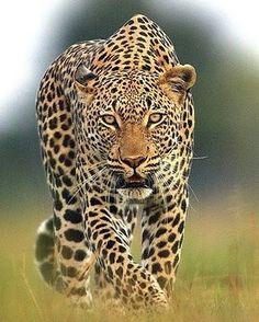 """2,015 Likes, 8 Comments - Destination Wild (@destination_wild) on Instagram: """"Stalking leopard Photo by ©Michael Poliza #Destination_wild"""""""