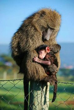 18 beauty animal parenting moment pictures - creative nature photography id Animals And Pets, Baby Animals, Funny Animals, Cute Animals, Animal Photography, Nature Photography, Los Primates, Baboon, Tier Fotos