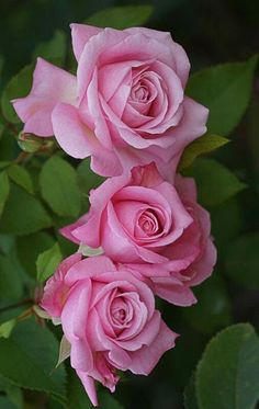 Pink roses...