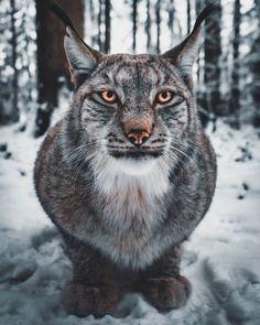 Beautiful Cats, Animals Beautiful, Beautiful Life, Animals And Pets, Cute Animals, Grand Chat, Exotic Cats, Mundo Animal, Tier Fotos