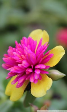140 best yellow and pink flowers images on pinterest beautiful garden flower mightylinksfo