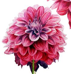Dahlias   botanical watercolour print by marieburke1 on Etsy, $22.00