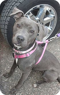 American Staffordshire Terrier/Pit Bull Terrier Mix Dog for adoption in Detroit, Michigan - Candy