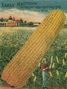Heirloom Corn Seed - Heirloom, Untreated, Open Pollinated, Vegetable Seeds - Sustainable Seed Company