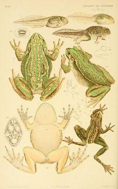 Resultado de imagen para scientific illustration amphibian