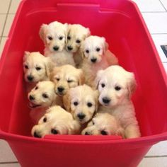 Bucket of puppies. I wish I could have seen the litter my Kerri belonged to but I did not meet her until she was 6-8 months old.