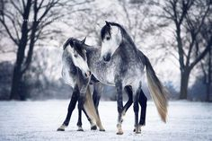 Two beautiful Dapple grey horses in the snow. Lovely dark leg markings and black mane on white faces. So gorgeous! Equine Elegance – Capturer les chevaux dans des photographies envoûtantes