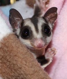 Sugar, our classic grey sugar glider and our original girl here at NH Sugar Gliders.