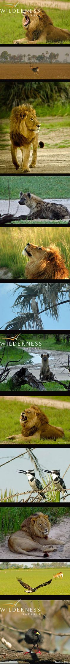 Jao Camp -One shy leopard and one not so shy...Click on the image for the full story.