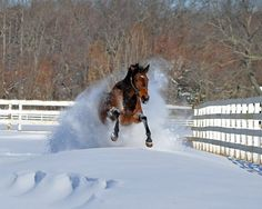 Private Miracle, our thoroughbred racehorse jumps through a snow drift. photo by Mike Quinn