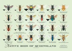 Native Bees of Queensland Poster by GinaCransonArtworks on Etsy