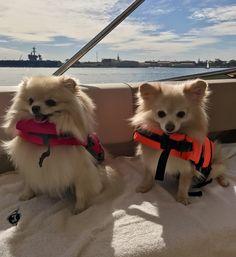 Pomeranians in life jackets