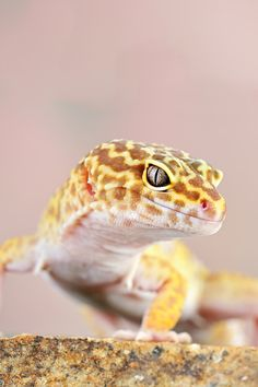 Awesome little animals. Relatively easy to care for and with tons of personality. Not sure what type of morph this is though. Leopard Gecko | Piotr Krzyzanowski