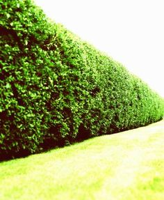 The best type of evergreen privacy hedge is a dense barrier to sight, sound and wind, fast-growing to the height you want it to reach and low-maintenance. Privacy Trees, Privacy Plants, Privacy Landscaping, Front Yard Landscaping, Flowering Shrubs, Deciduous Trees, Trees And Shrubs, Garden Seeds, Garden Plants