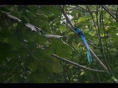 Hogar del Quetzal. National bird of Guatemala.