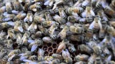 Last days of our summer bees. http://missapismellifera.com/2012/09/23/the-last-days-of-our-summer-bees/