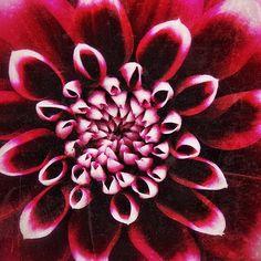 #Red #dahlia #flower #flowers #dahlias #nature #naturelover #plant #plantlover #garden #gardenideas #photo #photoart #digitalart #photographer #flowerphotography