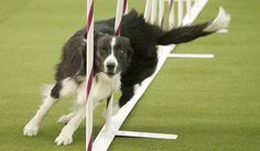 Westminster 2017: Brisk border collie wins dog agility competition (VIDEO)