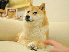 Original shibe: | 30 Of The Interweb's Best Side-Eye Shiba Inus