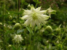 Aquilegia vulgaris var stellata 'Green Apples'