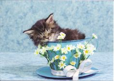 Sleeping Maine Coon kitten in large tea cup. Brown Maine Coon kitten sleeping in , Gatos Maine Coon, Maine Coon Kittens, Cute Kittens, Cats And Kittens, White Persian Kittens, Teacup Kitten, Sleeping Kitten, Photo Chat, Cat Behavior