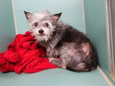 *SENIOR/BLIND** - Super Urgent Manhattan - DINO - #A1031993 - **RETURNED 10/14/16**BLIND** - MALE GRAY/WHITE SCOT TERRIER, CHIHUAHUA SH, 11 Yrs - STRAY - HOLD FOR ID Reason NO TIME - Due Out 10/17/16