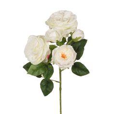 Rose Austin x5 White  38cml Rose, Plants, Pink, Roses, Flora, Plant