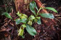 nepenthes in the tropical rainforest