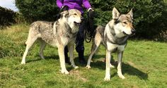 Two beautiful wolfdogs - brothers Maska and Kajika - and me, hanging on for dear life. Not in Seattle but part of the research for Madison's world. Read about them in my blog post www.valentinagiambanco.com