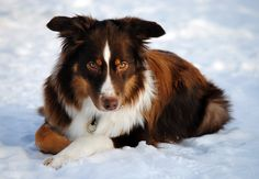 Such a beautiful red tri-color Aussie!  by ~Langsvans on deviantART