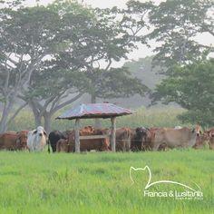 Nuestro manejo de la tierra es ecológico. Son suelos 100% naturales -sin úreas, ni gallinazas, ni fumigaciones -  #BrahmanRojo #Montería #Ganadería #AmorporelBrahman #Colombia #Pasion @asocebu @fedegan #HaciendasFranciaYLusitania