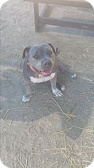 Special Needs, Loves to cuddle & play with toys, Staffordshire Bull Terrier/Pit Bull Terrier Mix Dog for adoption in Santa Maria, California - Maggie