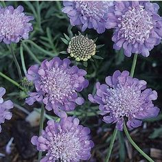 Pincushion Flower.  Tough as nails and a long bloomer in the landscape!