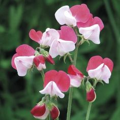 Sweet Pea Little Riding Hood Mr Fothergills Range Seed - Irish Plants Direct