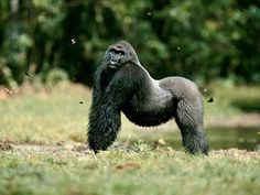 <p>Photo: A silverback western lowland gorilla strikes a pose</p>