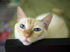 Flame point Siamese cat by Shutterstock  When ours were little all you could see were those huge red ears.  Hence, the Bats