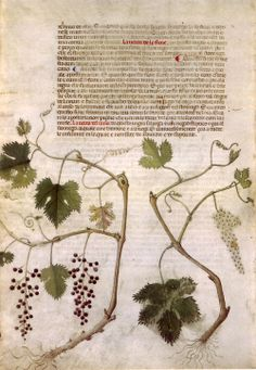 heaveninawildflower:  Page from the 'Carrara Herbal' (between c. 1390 and 1404). An Italian translation, possibly from a Latin translation, of a treatise orginally written in Arabic by Serapion the Younger (Ibn Sarabi, likely 12th century). Wikimedia.