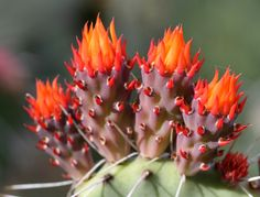 cactus flowers - Google Search