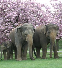Three Asian elephants from the Zoological Society of London's Whipsnade Zoo take a spring stroll under blossoming Japanese miniature cherry trees.