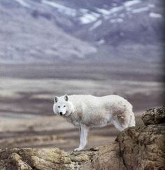Arctic wolf facts,information and updates on their survival.Population statistics and white wolf photos. Cute Animal Videos, Cute Animal Pictures, Arktischer Wolf, Gray Wolf, Lone Wolf, Wolf Moon, Beautiful Creatures, Animals Beautiful, Types Of Wolves